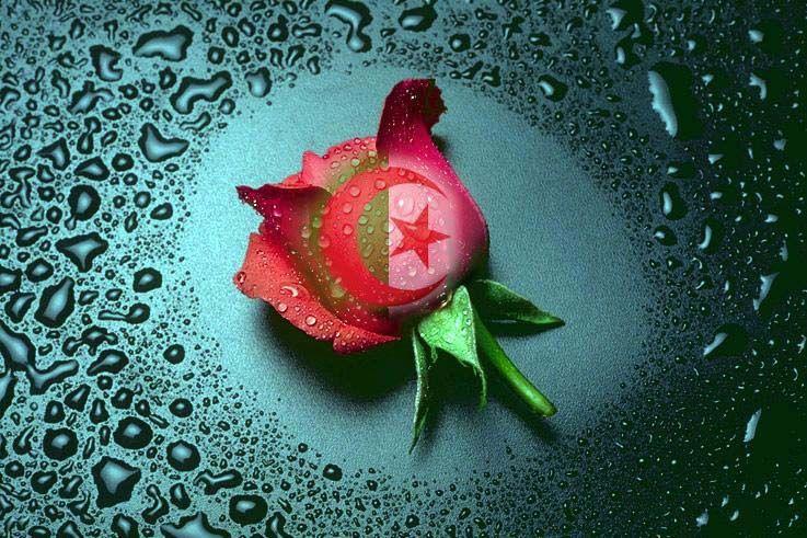 rose d'Algerie